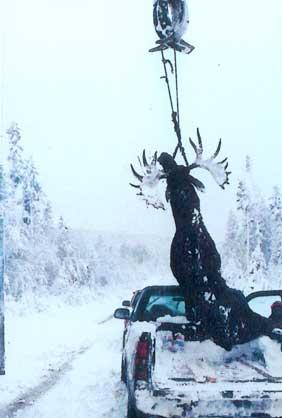 Trophy Bull Moose Maine